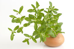 Stevia rebaudiana Bertoni trees. Royalty Free Stock Photography