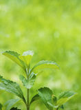 Stevia rebaudiana branch Royalty Free Stock Photography