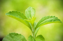 Stevia rebaudiana branch Royalty Free Stock Image