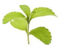 Stevia rebaudiana branch Stock Photography