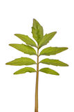 Stevia rebaudiana green leaf Stock Images