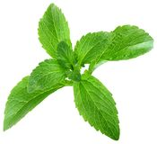 Stevia Rebaudiana Leafs Cut Out. Stevia Rebaudiana Leafs Isolated on White Background Royalty Free Stock Photos