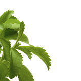 Stevia rebaudiana leaves, border Stock Photo