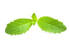 Stevia rebaudiana Stock Image