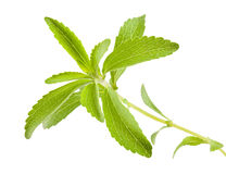 Stevia rebaudiana Royalty Free Stock Photos