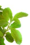 Stevia Rebaudiana - natural sweetener Royalty Free Stock Photos