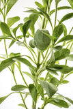 Stevia rebaudiana plant Stock Photo