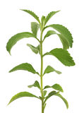 Stevia Royalty Free Stock Images