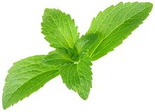 Stevia Rebaudiana, Sugar Substitute Cutout Stock Photography
