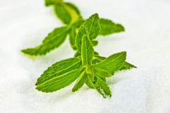 Stevia rebaudiana, support for sugar Stock Photography