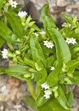 Stevia rebaudiana, support for sugar Stock Image