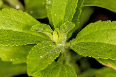 Stevia rebaudiana, support for sugar Royalty Free Stock Photos