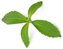 Stevia rebaudiana Royalty Free Stock Images