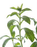 Stevia Rebaudina Bertoni Royalty Free Stock Photography