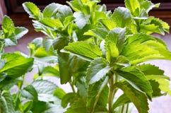 Stevia roślina Obrazy Stock