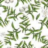Stevia. Seamless botanical pattern Stock Image