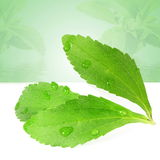 Stevia sugar substitute herbs leaves in green background Stock Photography