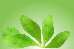 Stevia sugar substitute herbs leaves in green background Royalty Free Stock Photography