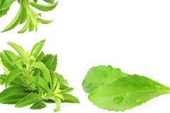 Stevia sugar substitute herbs in pure white  background Royalty Free Stock Images