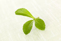 Stevia sugarl leaf. Stock Photo