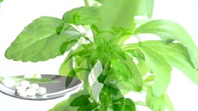 Stevia, support for sugar stock footage