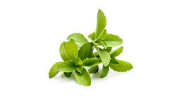 Stevia or Sweet Herb Royalty Free Stock Image