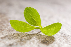 Stevia sweetleef. Stevia sweetleaf on stone background. Healthy sugar substitute. Healthy lifestyle and eating Royalty Free Stock Photo