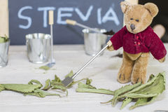 Stevia with teddy Stock Images