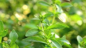 Stevia tree. Growing in the garden stock video