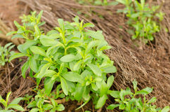 Stevia tree Stock Photography