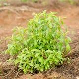 Stevia tree Royalty Free Stock Image