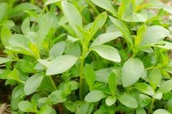 Stevia tree Stock Photos