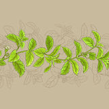 Stevia vector frame Royalty Free Stock Images