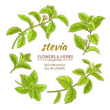 Stevia vector set Royalty Free Stock Images