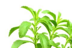 Stevia ziele w czystym białym tle Zdjęcia Royalty Free