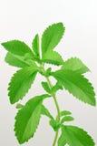 Steviarebaudiana, med nya gröna blad Royaltyfri Fotografi