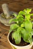 Steviaväxt i kruka Arkivfoto