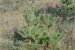 Stevige jonge Scots pijnboom paar korte naaldbomen Stock Fotografie
