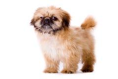 Stevige pekingese hond Royalty-vrije Stock Foto's