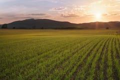 Sthe-Feld mit Sprösslingen des Weizens wird mit Sonnenschein beleuchtet Lizenzfreies Stockbild