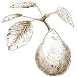 Stichillustration der Birne lizenzfreie abbildung