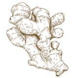 Stichillustration der Ingwerwurzel stock abbildung