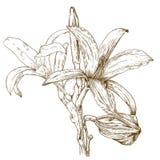 Stichillustration der Lilie vektor abbildung