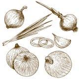 Stichillustration der Zwiebel stock abbildung