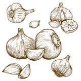 Stichillustration des Knoblauchs lizenzfreie abbildung