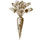 Stichillustration von Rote-Bete-Wurzeln stock abbildung