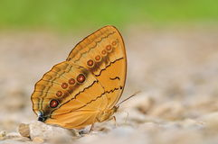 Stichophthalma louisa / butterfly is drinking water Royalty Free Stock Images