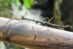 Stick Bug. A stick bug on a log in Brazil royalty free stock photo