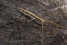 Stick bug. A detail of a stick bug royalty free stock photo