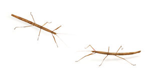 Stick bug, insect. Phasmatodea - Oreophoetes peruana isolated on white backgroung royalty free stock photo
